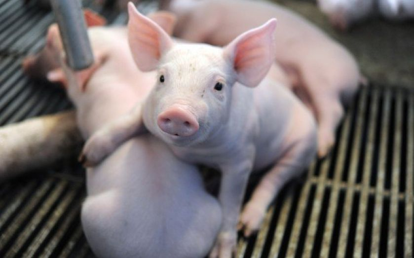 Robust results for Cranswick as pig rearing grows