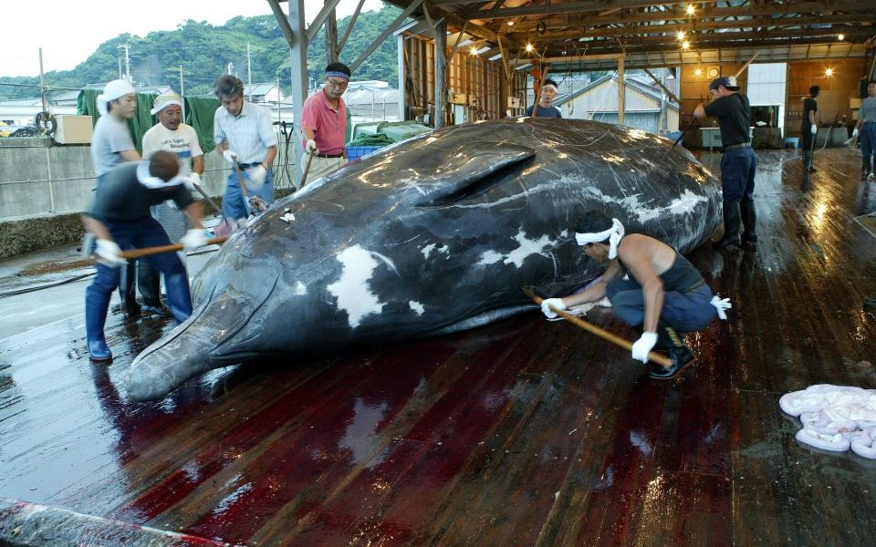 Japan confirms it will quit international agreement to resume commercial whaling