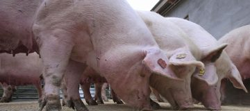 Cranswick's pork sales to China surge after swine flu outbreak