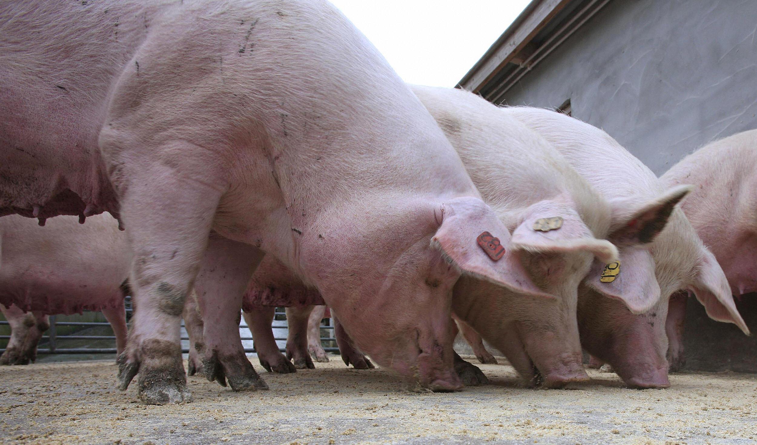El sacrificio masivo de cerdos es inevitable si persiste la escasez de mano de obra en los mataderos, advierten los veterinarios