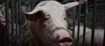 Swine flu helps push Chinese inflation to eight-year high