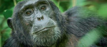The unexpected consequences of gorilla conservation in Uganda