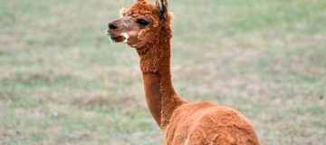 Monzo co-founder Paul Rippon has an alpaca farm in Northumberland with his wife Debbie