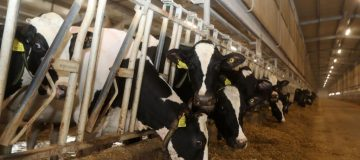 Cows are are fed at a dairy factory at Baladna farm.