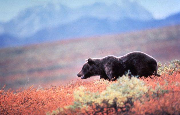 Grizzly Bear In Alaska...