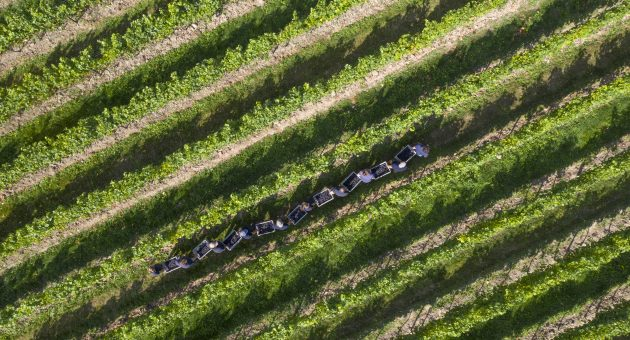English vineyard Nyetimber prepares for socially distant harvest