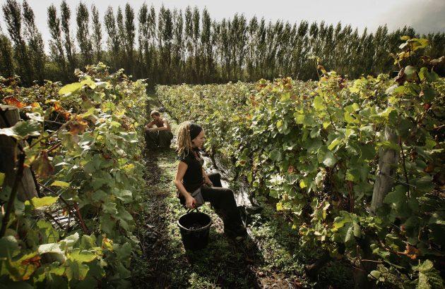 Grape Harvest begins At UK'S Award Winning Vineyard