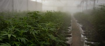 Uganda Sows Seeds Of Medical Marijuana Industry