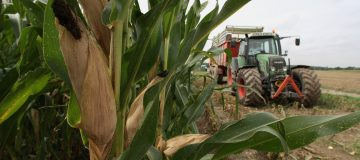 Corn Harvest For Generation Of Electricity
