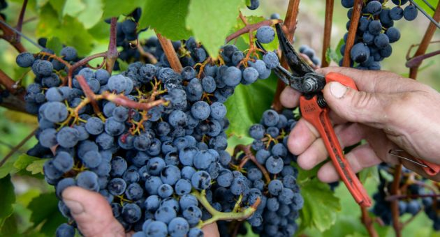 Croatian wine is shedding its rep as cheap plonk – here's why