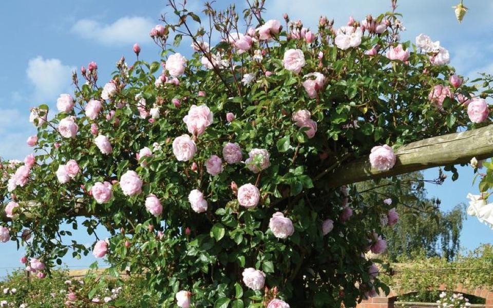 Generous gardener roses