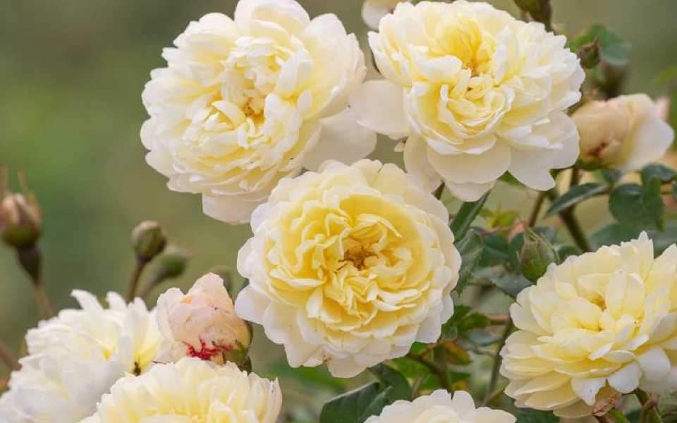 Nye Bevan roses