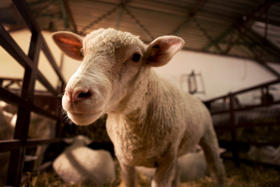 Blockchain in agriculture sheep
